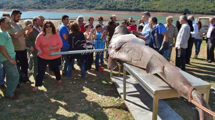 Ένας τεράστιος καρχαρίας μαγνήτισε όλα τα βλέμματα στη λίμνη Λάδωνα (vd)!