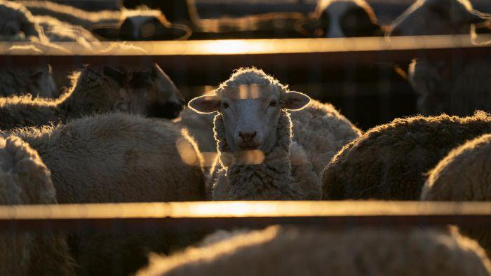 Κρούσματα καταρροϊκού πυρετού σε πρόβατα της Αρκαδίας